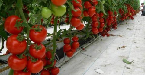 В Чехии в рамках агро-крипто проекта на тепле от майнинга выращивают томаты